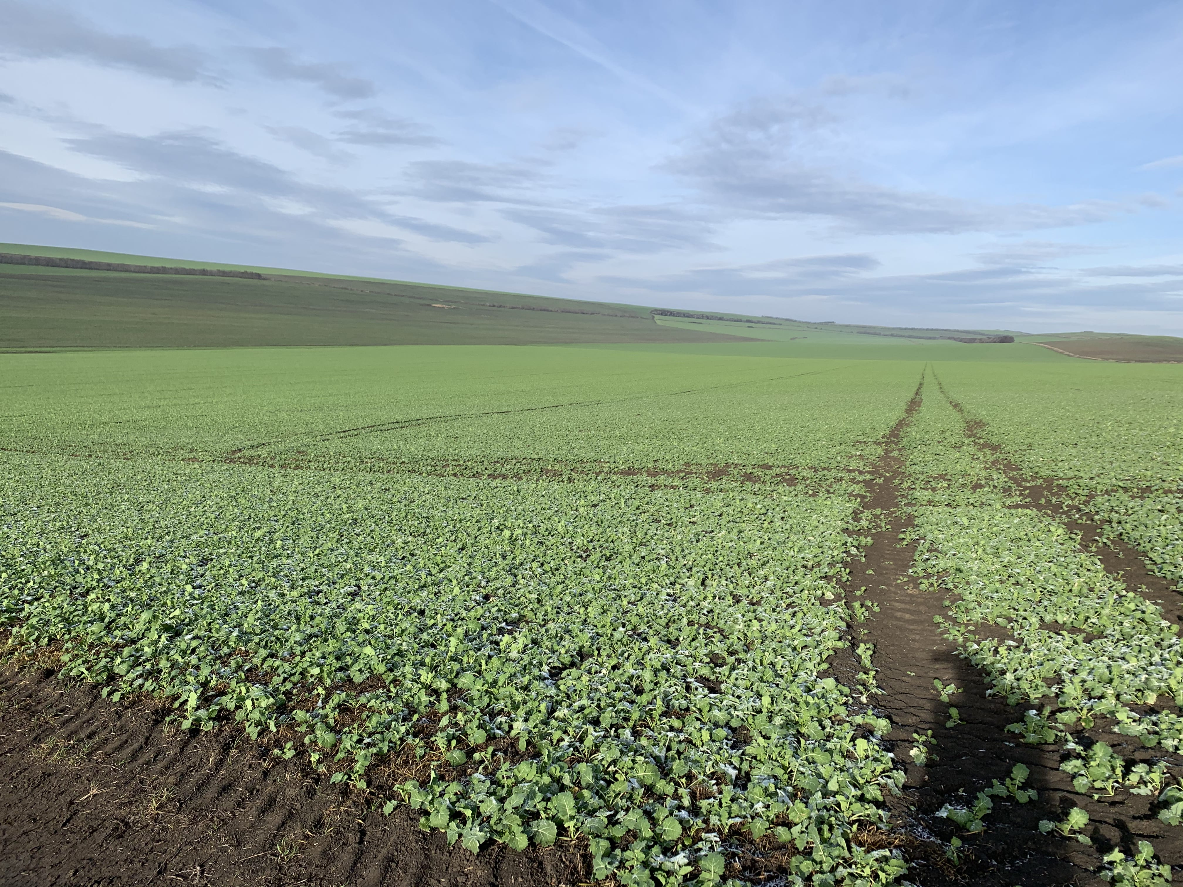 Our romanian rapeseed